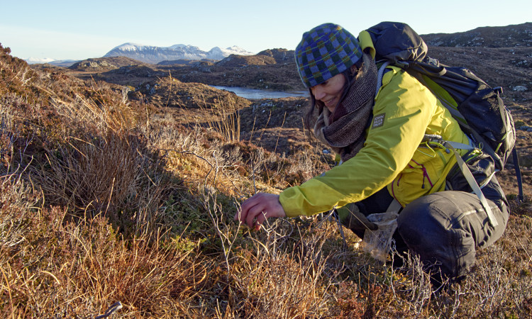 Romany seed collecting on Quinag - Chris Puddephat