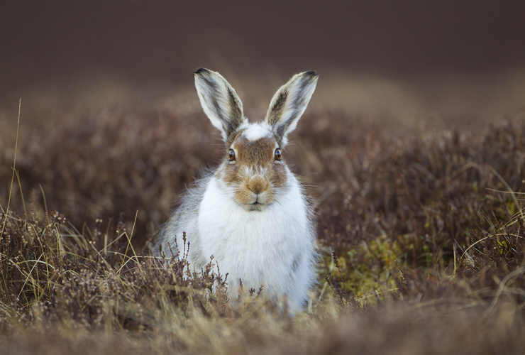Mountain Hare - 2020 Vision