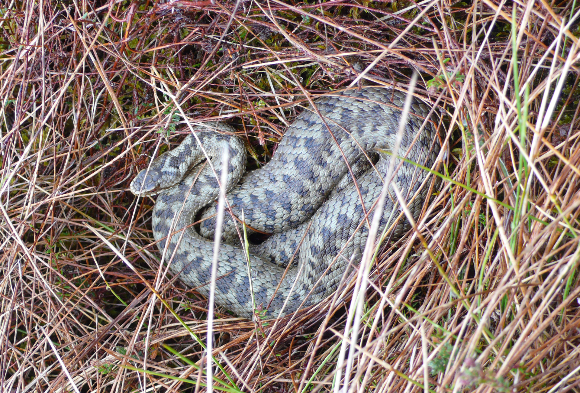 Adder at Glenlude - Karen Purvis